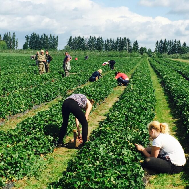 maasikakorjajad